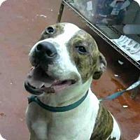 Adopt A Pet :: BRAD - Atlanta, GA