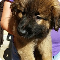 Shepherd (Unknown Type) Mix Puppy for adoption in Detroit, Michigan - Jacoby-Pending!