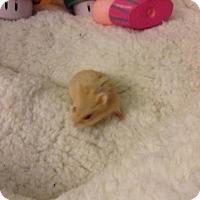 Hamster for adoption in St. Paul, Minnesota - Bubblegum