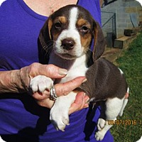 Adopt A Pet :: RANSOM - Lincolndale, NY
