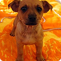 Australian Cattle Dog Mix Puppy for adoption in Chantilly, Virginia - Charlie's Angels Cheryl