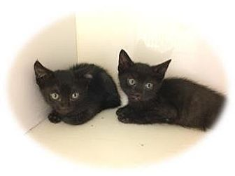Domestic Shorthair Kitten for adoption in Herndon, Virginia - Lana