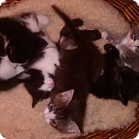 Adopt A Pet :: Six Kittens - Chicago, IL
