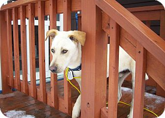 Labrador Retriever Mix Dog for adoption in Tunbridge, Vermont - Seaver
