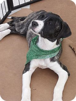 Labrador Retriever/Boxer Mix Puppy for adoption in Huntsville, Alabama - Zabryna