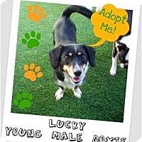 Adopt A Pet :: Lucky - Elyria, OH