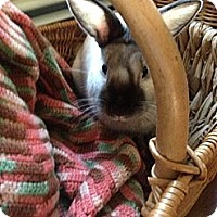 Adopt A Pet :: Chaz - Portland, ME
