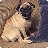 Adopt A Pet :: Mayci - Sinking Spring, PA