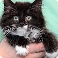 Adopt A Pet :: Royal Kate - ADOPTION PENDING! - Potomac, MD