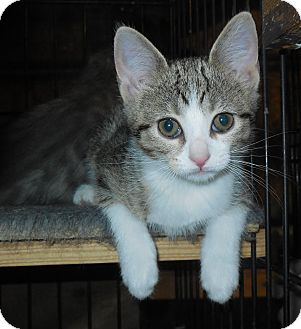 Domestic Shorthair Kitten for adoption in Whiting, Indiana - Skye