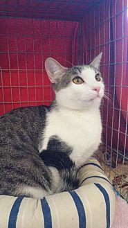 Domestic Shorthair Cat for adoption in Walnut Creek, California - Gus