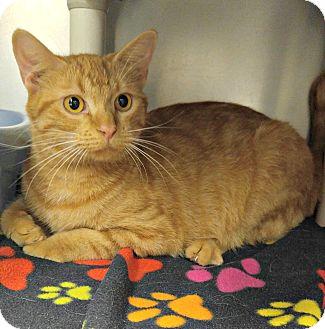 Domestic Shorthair Cat for adoption in Triadelphia, West Virginia - T-4