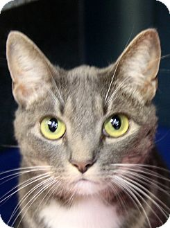 Domestic Shorthair Cat for adoption in Sarasota, Florida - Princess Peach