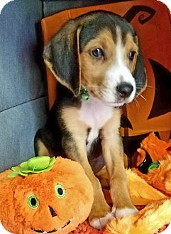 Treeing Walker Coonhound Mix Puppy for adoption in Alexandria, Virginia - Super Bubble (Bubble Gum Pups)