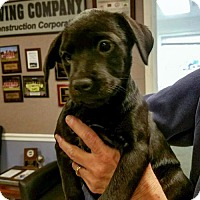 Adopt A Pet :: Billie Jean - Arlington, VA