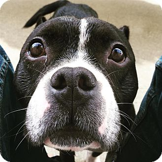 American Pit Bull Terrier/American Bulldog Mix Dog for adoption in Lincoln, California - Lexi Love Muffin