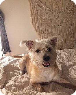 Cairn Terrier/Shih Tzu Mix Dog for adoption in San Antonio, Texas - Sandy