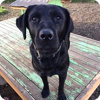 Labrador Retriever Mix Dog for adoption in The Dalles, Oregon - Raven