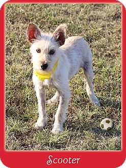 Schnauzer (Miniature)/Terrier (Unknown Type, Small) Mix Puppy for adoption in Hillsboro, Texas - Scooter