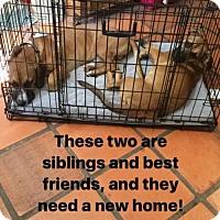 Adopt A Pet :: Vlad - Austin, TX