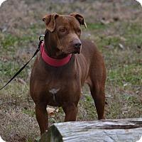 Adopt A Pet :: Ginger - Lebanon, MO