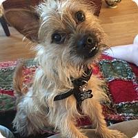 Adopt A Pet :: Winston - Thousand Oaks, CA