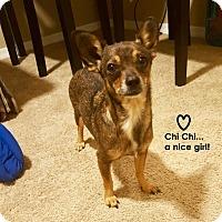Adopt A Pet :: Chi Chi - Chandler, AZ