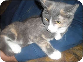Domestic Shorthair Kitten for adoption in Davis, California - Gracie