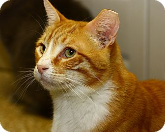 Domestic Shorthair Cat for adoption in Lombard, Illinois - Wafer