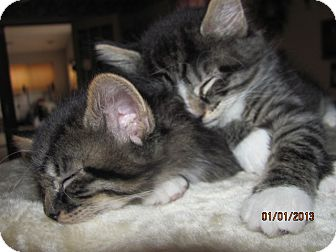 Maine Coon Kitten for adoption in Oxford, Connecticut - Tippy