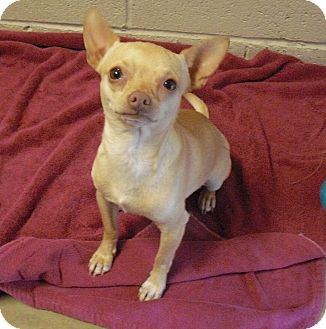 Chihuahua Mix Dog for adoption in Wickenburg, Arizona - Marty