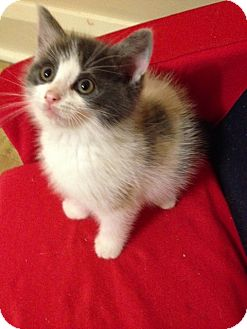 Domestic Shorthair Kitten for adoption in Douglas, Ontario - Cleo