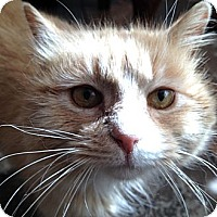 Adopt A Pet :: Peaches - East Hanover, NJ