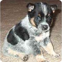 Adopt A Pet :: Tyler - Phoenix, AZ
