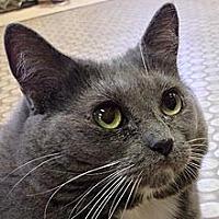 Domestic Shorthair Cat for adoption in Phoenix, Arizona - Bella