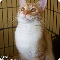 Adopt A Pet :: Macaulay - Merrifield, VA