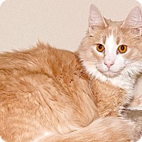 Domestic Mediumhair Cat for adoption in Cashiers, North Carolina - Rusty