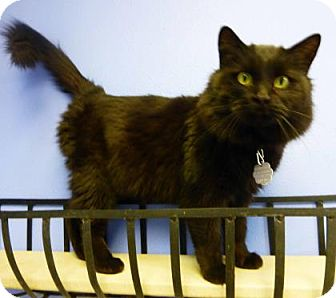 Domestic Mediumhair Cat for adoption in Evans, Colorado - Snow