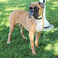 Boxer/American Bulldog Mix Dog for adoption in Alameda, California - Linc