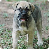 Adopt A Pet :: Mask - Lawrenceville, GA