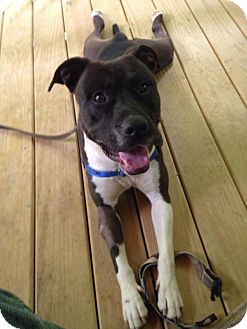 Pit Bull Terrier Mix Dog for adoption in Charlotte, North Carolina - Deuce - COURTESY LISTING