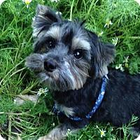 Adopt A Pet :: Rookie - Sinking Spring, PA