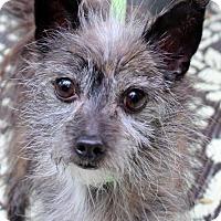 Adopt A Pet :: Toto - Locust Fork, AL