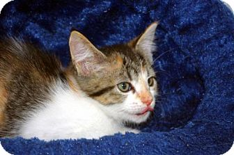 Calico Kitten for adoption in Longview, Washington - Conchita
