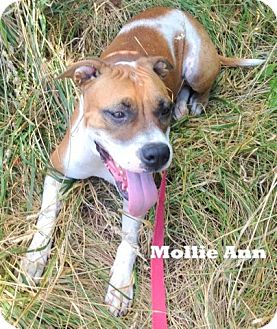 Boxer Mix Dog for adoption in Mountain View, Arkansas - Mollie Ann
