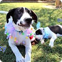Adopt A Pet :: Izzy - Groton, MA