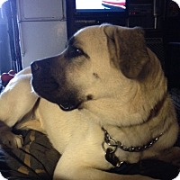 Mastiff/Great Pyrenees Mix Dog for adoption in McMinnville, Oregon - Lola