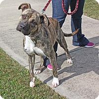 Adopt A Pet :: Rain - Harrisonburg, VA