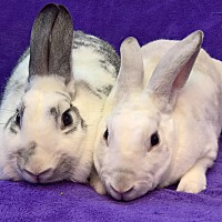 Adopt A Pet :: Penelope and Marshmallow - Lewisville, TX