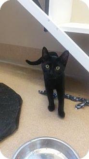 Domestic Shorthair Cat for adoption in Cumming, Georgia - Hydro